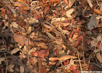 Spottiswoode Nightjar