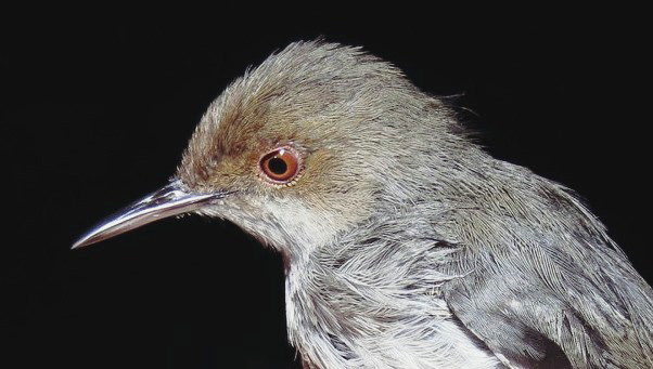 New paper on the endangered and poorly-known birds of Mozambique's Afromontane forests