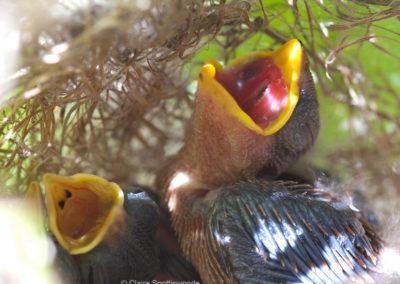 Cuckoo Finch Chicks in Nest