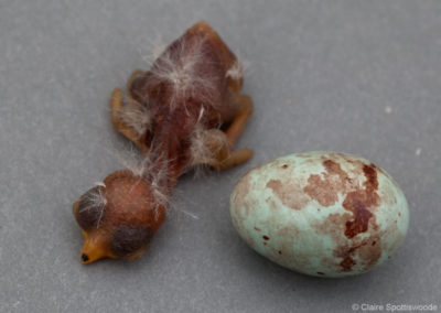 Cuckoo Finch Egg and Chick