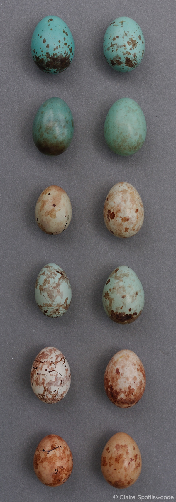 Cuckoo Finch egg mimicry