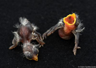Two cuckoo finch chicks