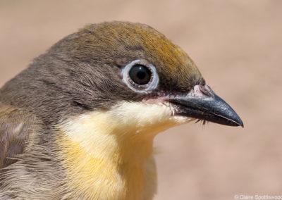 Honeyguide fledgling