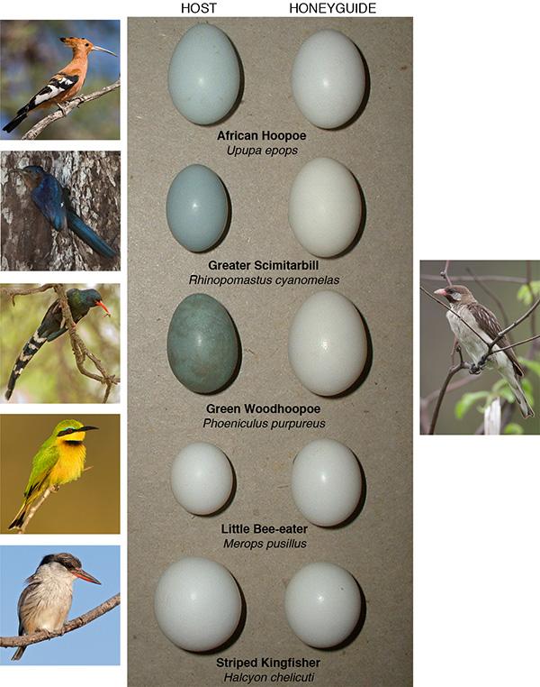 Greater Honeyguide eggs