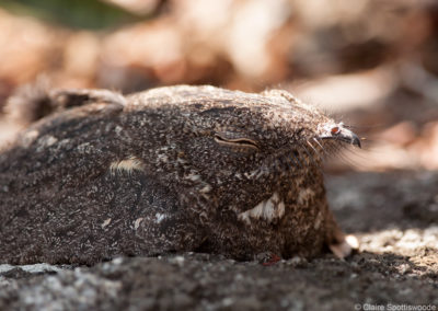 Freckled Nightjar