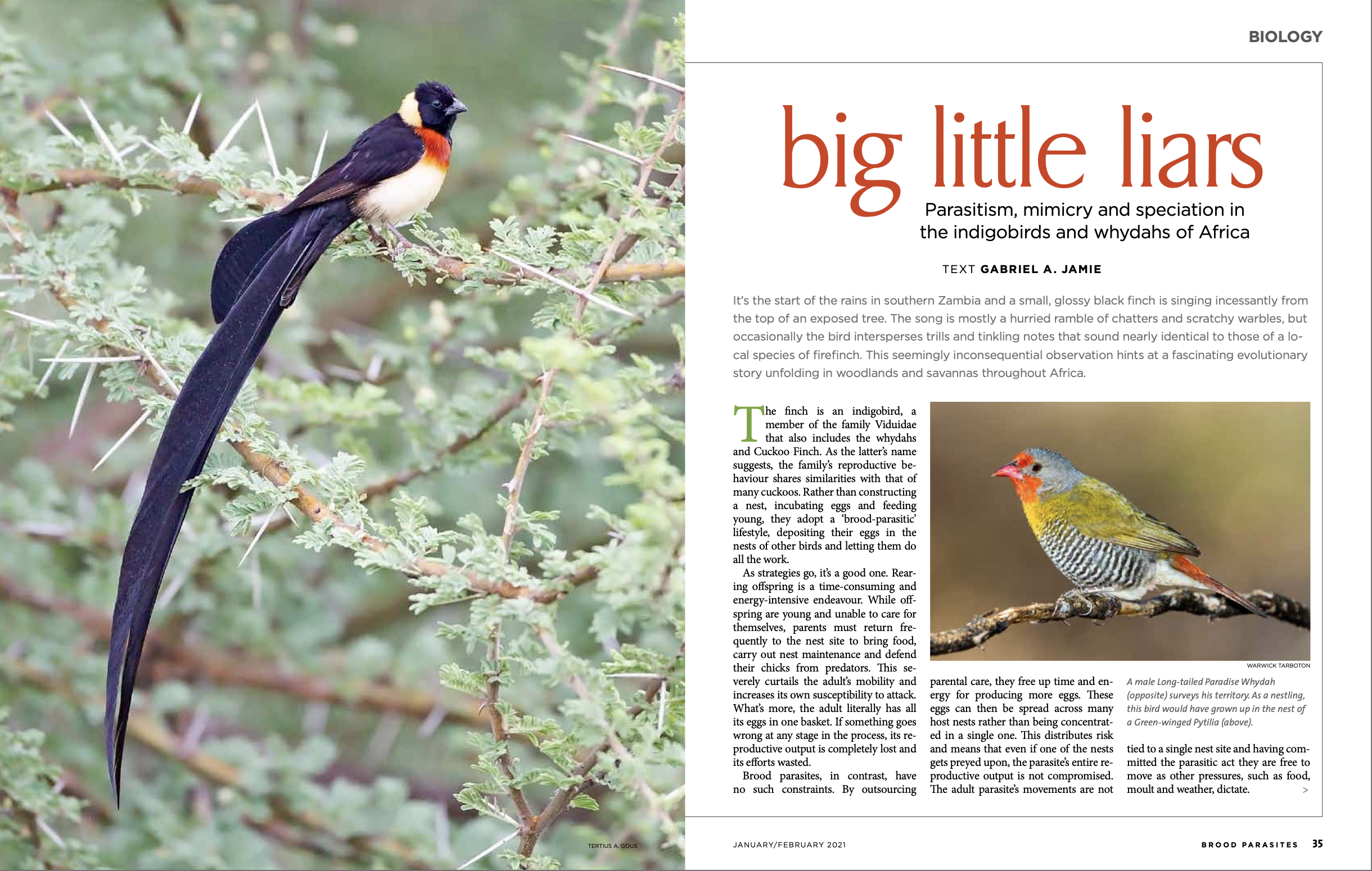 New articles in African Birdlife and The Conversation Africa: parasitism, mimicry and speciation in Africa's parasitic finches